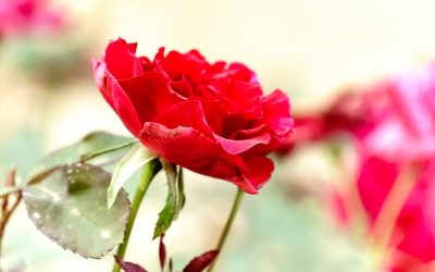 Want to Connect More Deeply with Your Team? Try Roses and Thorns.